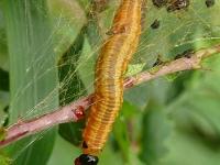 Neurotoma saltuum larva Lyde du poirier larve Perespinselbladwesp larve II