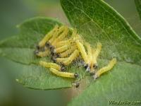 Neurotoma saltuum larvae Lyde du poirier larves Perespinselbladwesp larves