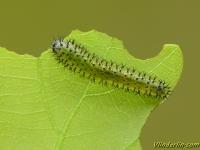 Periclista lineolata larva