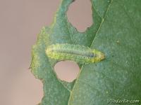 Platycampus luridiventris larva