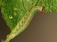 Tenthredinidae sp. larva Tenthrède larve Bladwesplarve