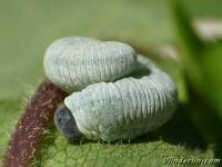 Tenthredo rubricoxis larva
