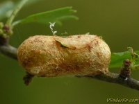 Trichiosoma tibiale cocoon Trichiosoma tibiale cocon Meidoornbladwesp cocon